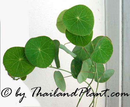 Easy To Grow Stephania erecta  1 Bulb very nice Origin Northern Thailand