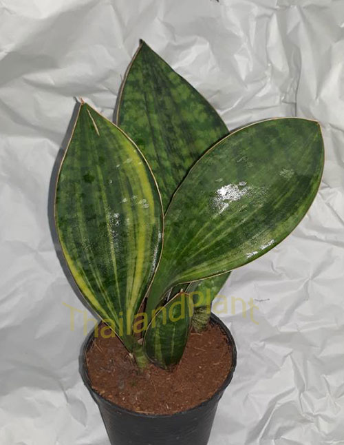 1 Plant of SANSEVIERIA MASONIANA VARIEGATED Houseplants on beautiful houseplants, easy houseplants, potted houseplants, small flowering houseplants, butterfly houseplants, jade plant houseplants, tropical houseplants, fragrant houseplants, rubber plant care houseplants, great houseplants, flowering succulent houseplants, shade houseplants, flower medium light houseplants, philodendrons houseplants, tree houseplants, silk houseplants, colorful houseplants, foliage houseplants, low care houseplants, red houseplants,